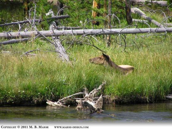 Elk resting by a river