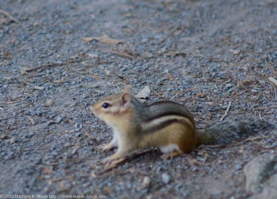 Chipmunk on gravel path, focus is slightly behind animal's head